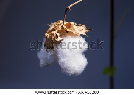 Cotton Up - stock photo