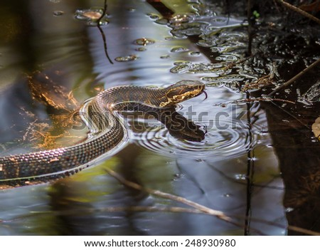Cottonmouth snake with tongue out - stock photo