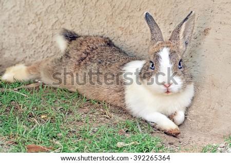 Cottontail bunny rabbit on animal farm  - stock photo