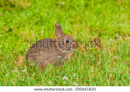 Cottontail rabbit sitting in the grass looking right.