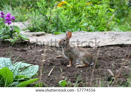 Cottontail Rabbit - Sylvilagus - stock photo