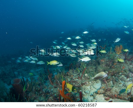 Cottonwick Grunts on a coral reef.  Picture taken in Broward County Florida. - stock photo