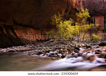 Cottonwoods in the Zion Narrows in autumn. - stock photo