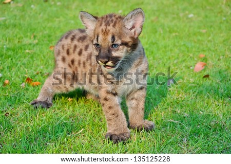 Cougar cubs are born with a full coat of fur. Initially, the fur is a tawny color with black spots on the body and bars on the tail. - stock photo