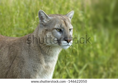Cougar in profile. Photographed in Northern Minnesota - stock photo
