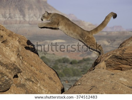 Cougar in red rock desert of Southern Utah