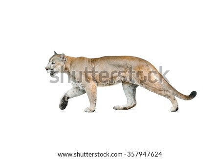 cougar male walking, isolated over a white background - stock photo