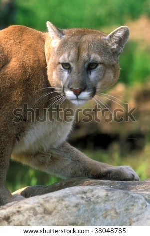 Cougar posing - stock photo