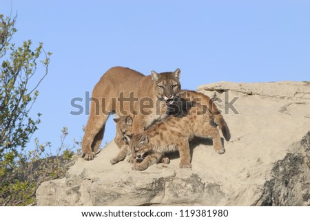 Cougar with her cubs, North Dakota Badlands - stock photo