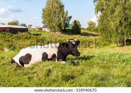 Country cow on the grass at the edge of a birch forest on the background of the village, Western Siberia, Russia - stock photo