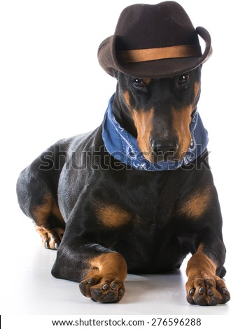 country dog - doberman pinscher dressed up with cowboy hat and bandanna on white background - stock photo