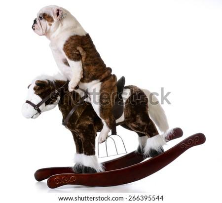 country dog - english bulldog riding a rocking horse on white background - stock photo