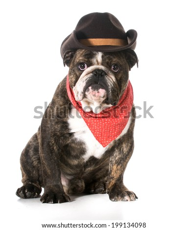 country dog - english bulldog wearing red bandanna and cowboy hat on white background - stock photo