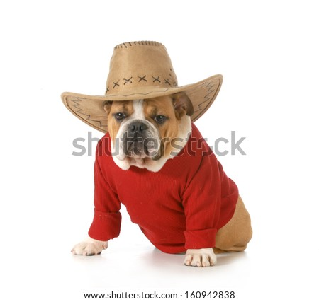 country dog - english bulldog wearing red shirt and western hat isolated on white background - 6 months old - stock photo