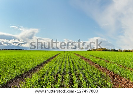 Country landscape with growing wheat. - stock photo