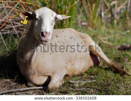 Country life: lying young white sheep - stock photo