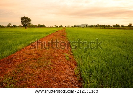 Country Road at Rice Paddy Fields - stock photo