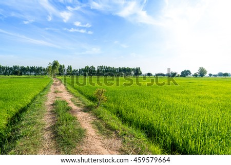 Country Road in Green rice paddy fields
