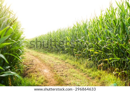 country road in the middle of a corn field
