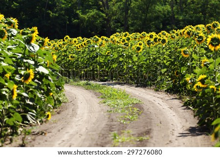 country road through the sunflowers field - stock photo