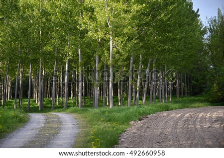 Countryside pathway with lines of poplar trees and grass