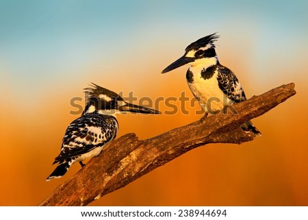 Couple black and white Pied Kingfisher sitting in the branch during sunrice with nice light - stock photo