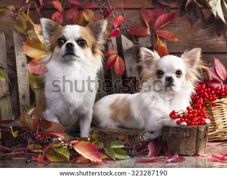 couple Chihuahua hua longhair  - stock photo