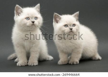 couple cute british kitten colorpoint longhair studio shot - stock photo