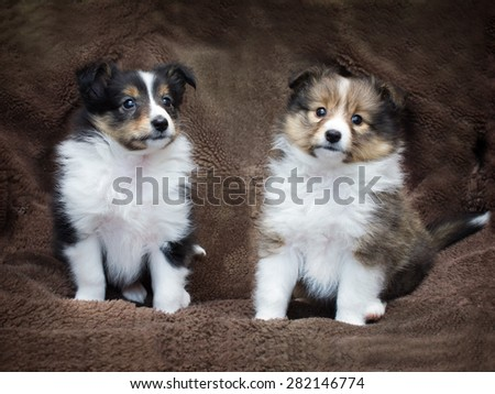 Couple cute sheltie puppies sitting on a sheepskin. - stock photo