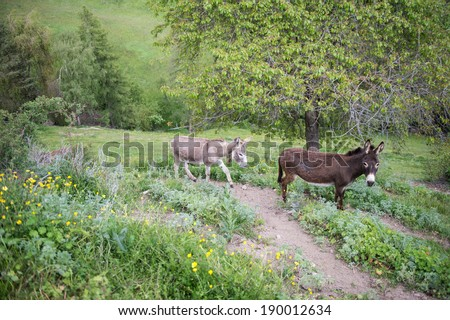 couple donkeys on the dirt trial - stock photo