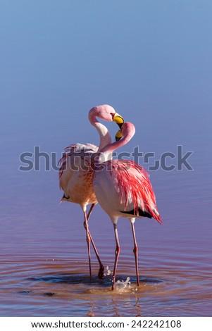 Couple flamingos, Bolivia - stock photo