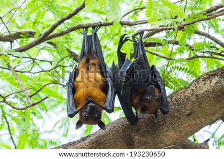 Couple Flying foxes hanging on the tree - stock photo