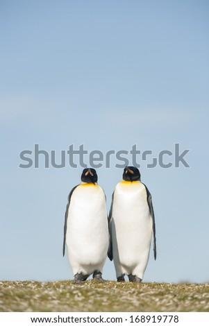 Couple King Penguins at Falkland islands - stock photo