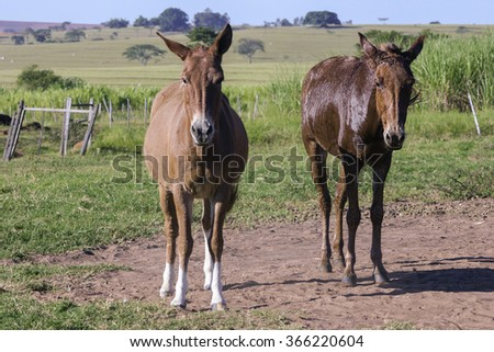 Couple mules on a far day - stock photo