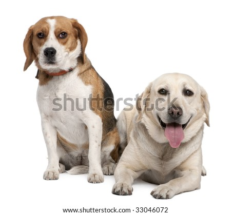 couple of a Labrador and a beagle in front of a white background