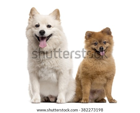 Couple of a Pomeranian and a Spitz looking at the camera and sticking the tongue out, isolated on white
