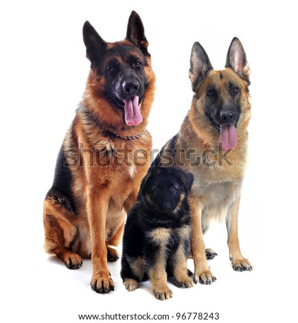 couple of a  purebred german shepherd and his puppy in front of white background