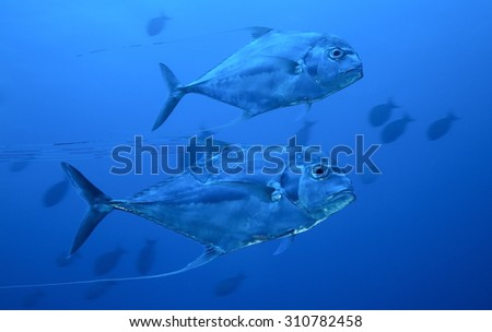 COUPLE OF AFRICAN POMPANO SWIMMING IN CLEAR BLUE WATER
