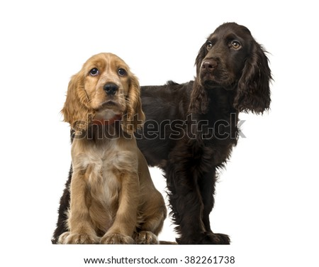 Couple of an English Cocker Spaniel puppies sitting and looking away, isolated on white (5 and 3 months old ) - stock photo