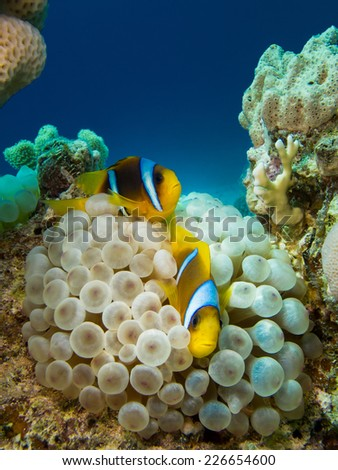 Couple of anemone fish in a symbiotic relationship with soft coral - stock photo