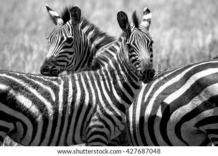 Couple of animals. Close up a zebras black and white color style. Portrait of zebra.