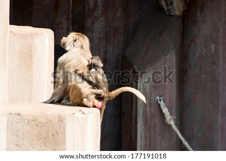 Couple of baboon monkey at Zoo: mother and baby