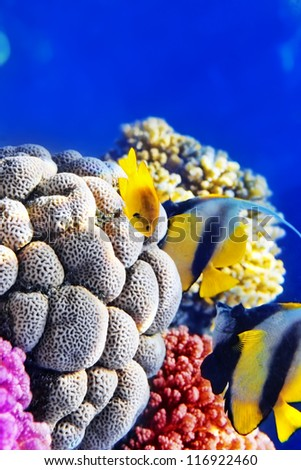 Couple of  Bannerfish  in the Red Sea. Egypt, Africa - stock photo