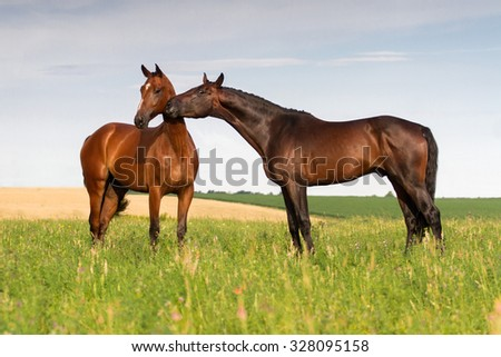 Couple of beautiful horse touch each other in meadow - stock photo