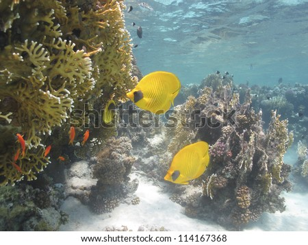 Couple of beautiful Masked butterflyfish (Chaetodon semilarvatus) at shallow water - Red sea