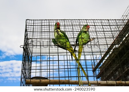 Couple of big green parrots (Alexandrine parakeet) is sitting in the cage on pet market, on sky background - stock photo