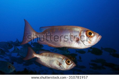 COUPLE OF BIGEYE SWIMMING IN CLEAR BLUE WATER