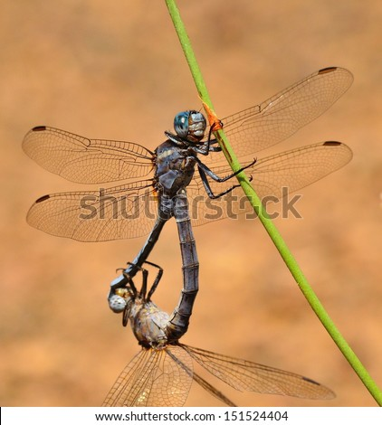 Couple of blue dragonflies orthetrum chrysostigma in its mating ritual and subject to a little branch