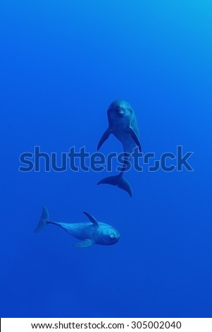 COUPLE OF BOTTLE NOSE DOLPHIN SWIMMING ON BLUE WATER - stock photo