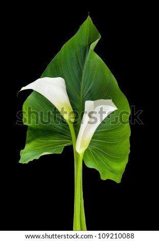 Couple of Calla lilies with leaf isolated on black (path included) - stock photo